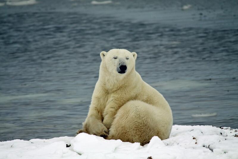 Bild zu Keine Eisbären ohne Eis
