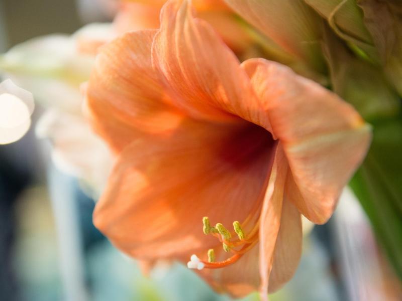 Bild zu Amaryllis-Blüte