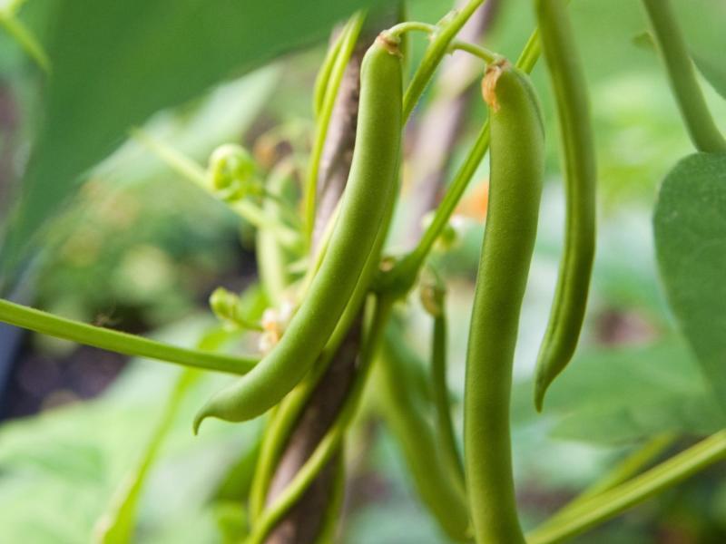 Bild zu Stangenbohnen