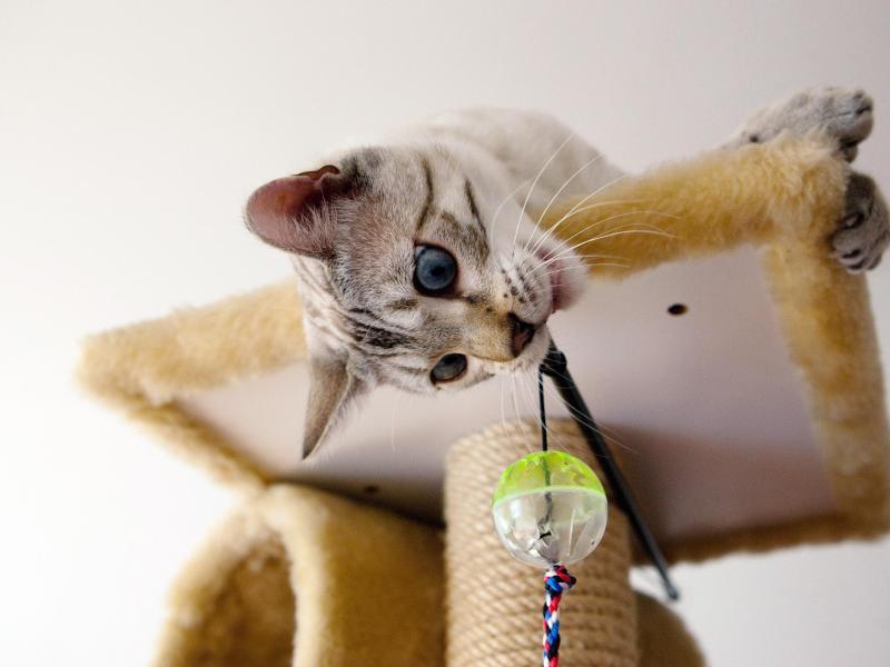 Bild zu Katze am Kratzbaum