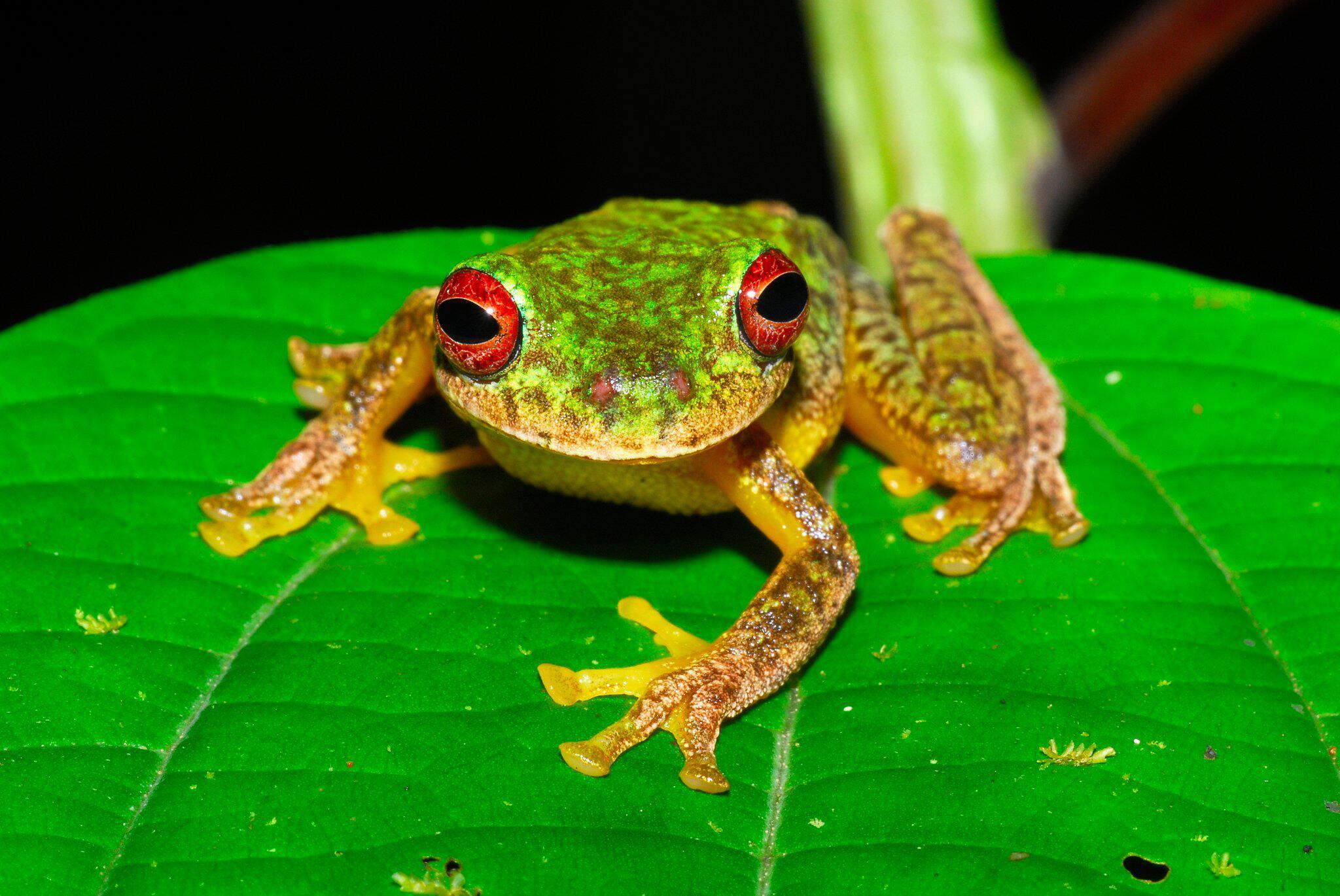 Bild zu Frosch - Amphibienkiller Chytridiomykose