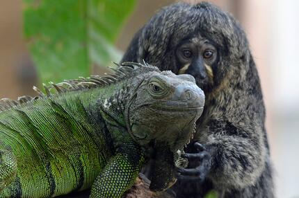 Weißkopfsaki-Weibchen und grüner Leguan