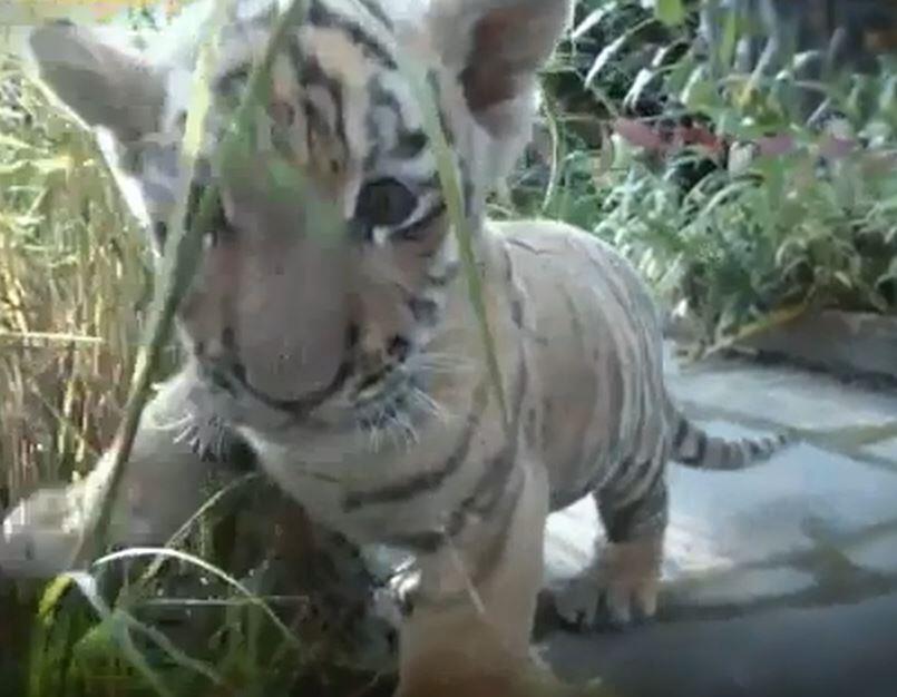 Bild zu Tiger, Baby, Berlin, Waise