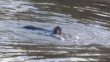 Bild zu Affe überquert Grenzfluss schwimmend