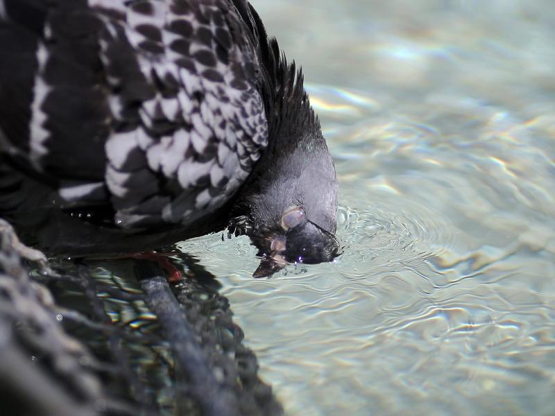 Bild zu Taube badet in Brunnen