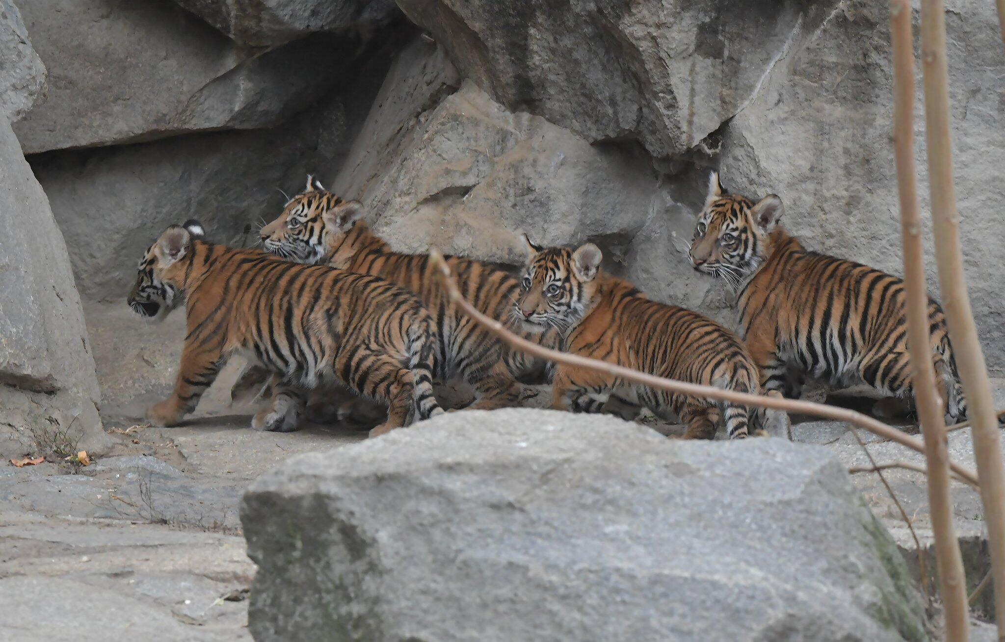 Bild zu Junge Sumatra-Tiger im Tierpark Berlin