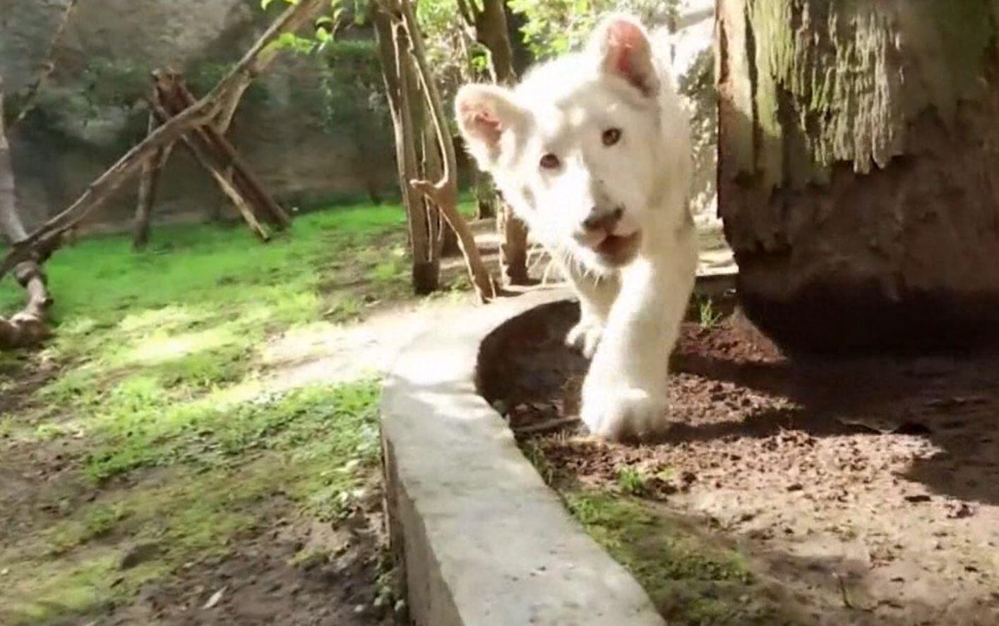 Bild zu Weißer Löwe