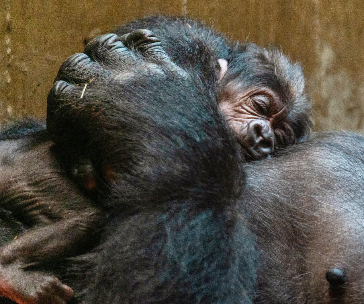 Bild zu Gorilla-Nachwuchs im Zoo von Washington