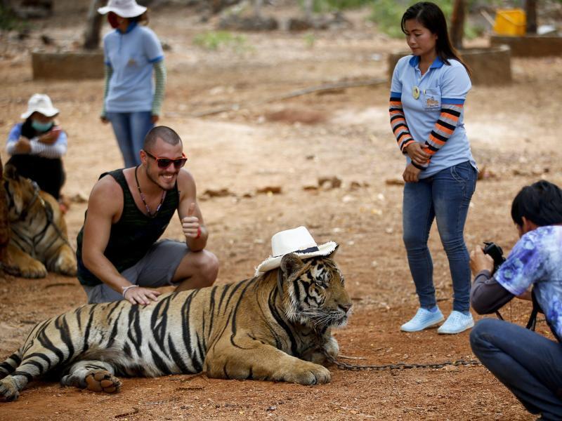 Bild zu Tourist lässt sich mit Tiger fotografieren