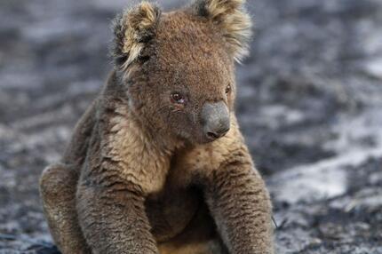 Hund rettet mehr als 100 Koalas
