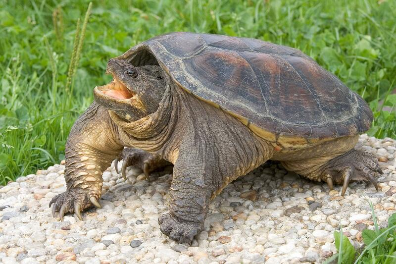 Bild zu Schnappschildkröte
