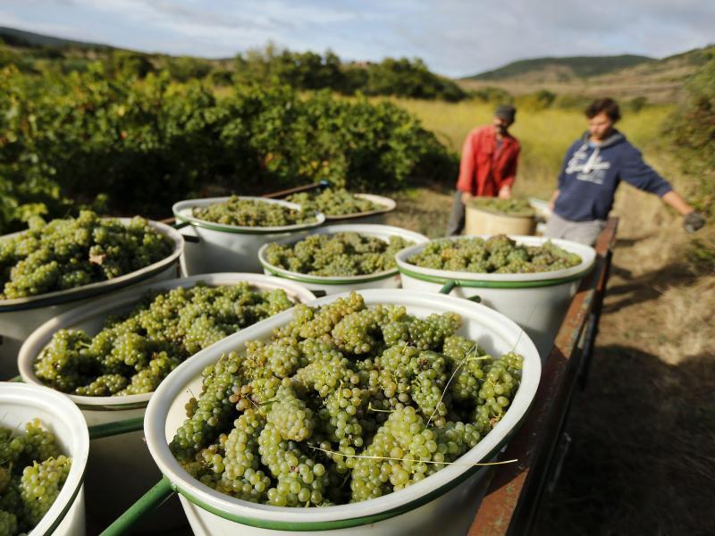 Bild zu Weinlese in Frankreich