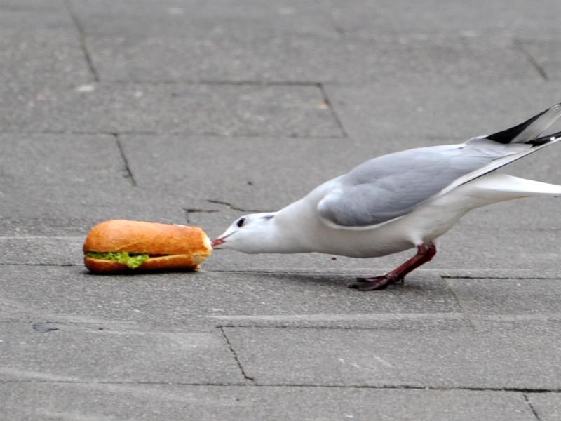 Bild zu Möwe mit Mahlzeit