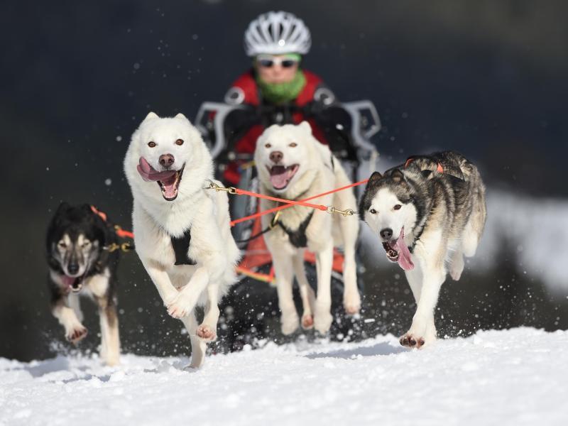 Bild zu Vierer-Hundegespann