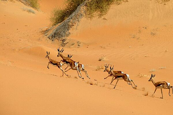 Bild zu Antilopen springen durch den heißen Sand der Wüste.