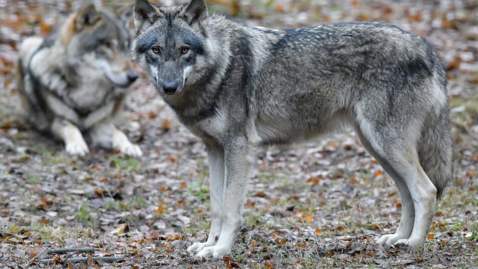 Wölfe vermehren sich weiter