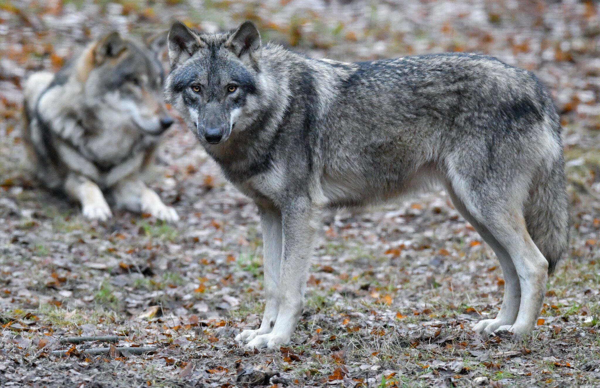 Bild zu Wölfe vermehren sich weiter