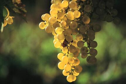 Weißwein von der Mosel