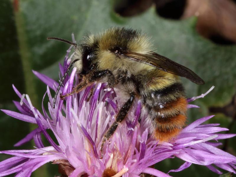 Bild zu Wildbiene des Jahres: die Bunte Hummel