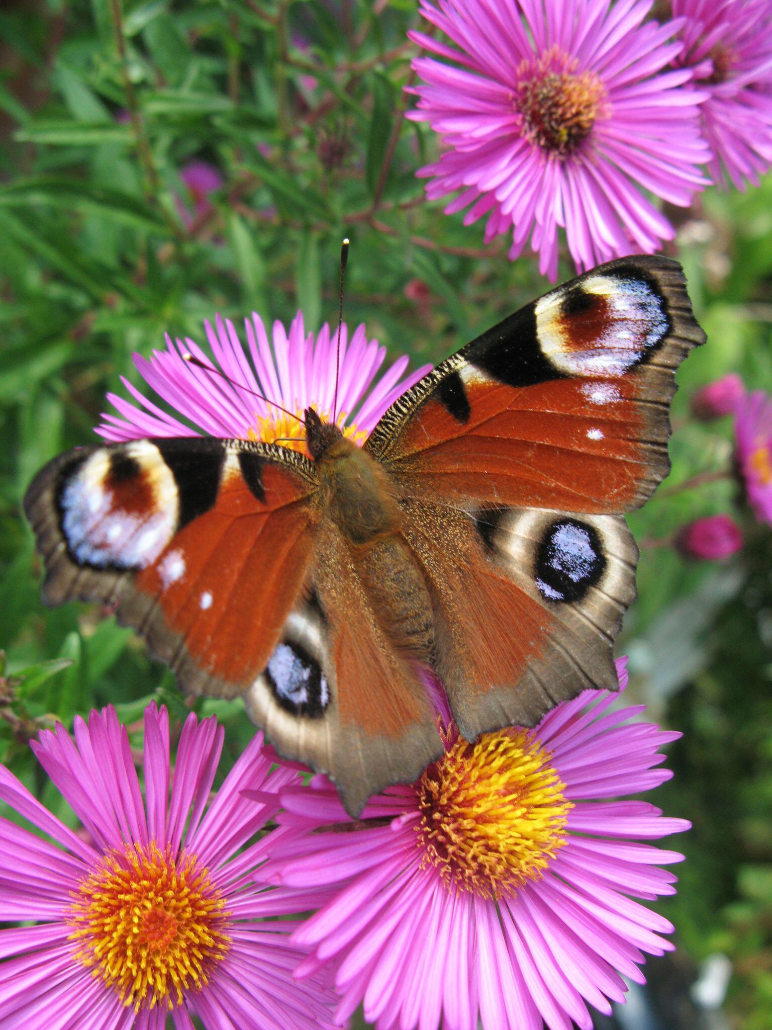 Bild zu Dürre, Gift und Schottergärten - Schmetterlinge werden weniger