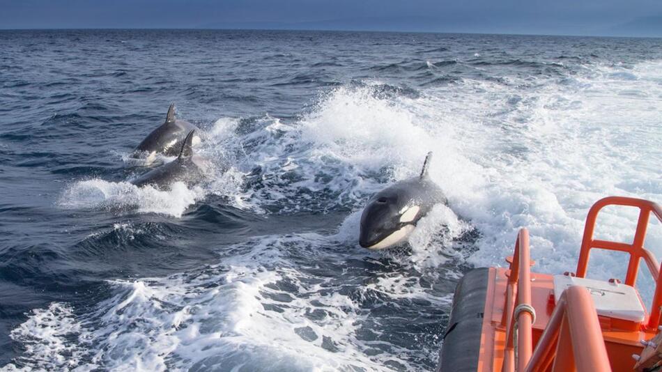 Mysteriöse «Killerwal»-Attacken in Spanien