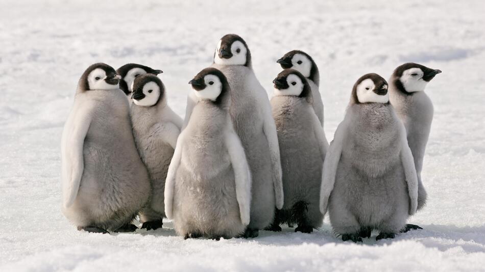 Pinguin, Produkte, Kuscheltier, Onesie, Bettwäsche, Kostüm, Party, Figur, Tier