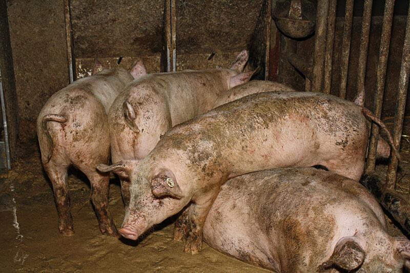 Bild zu Schweine in Bio-Haltung