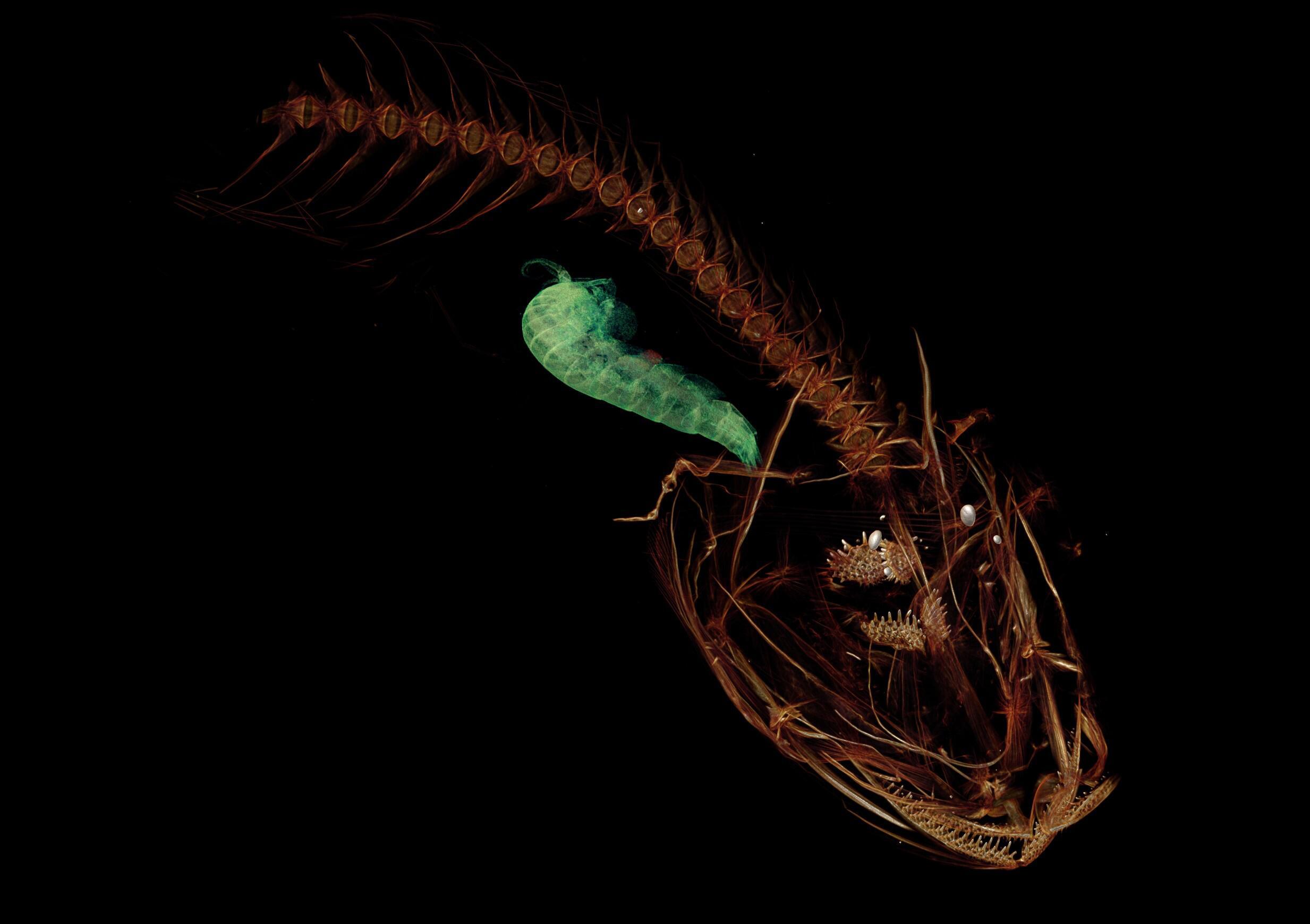 Bild zu Pseudoliparis swirei