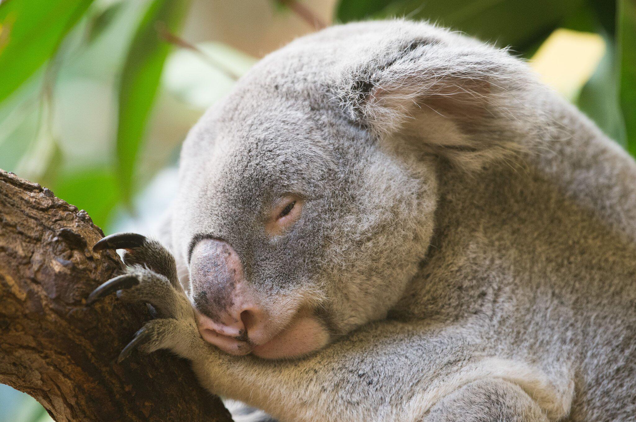 Emp rung in australien koala an pfosten genagelt web de - Koala components ...