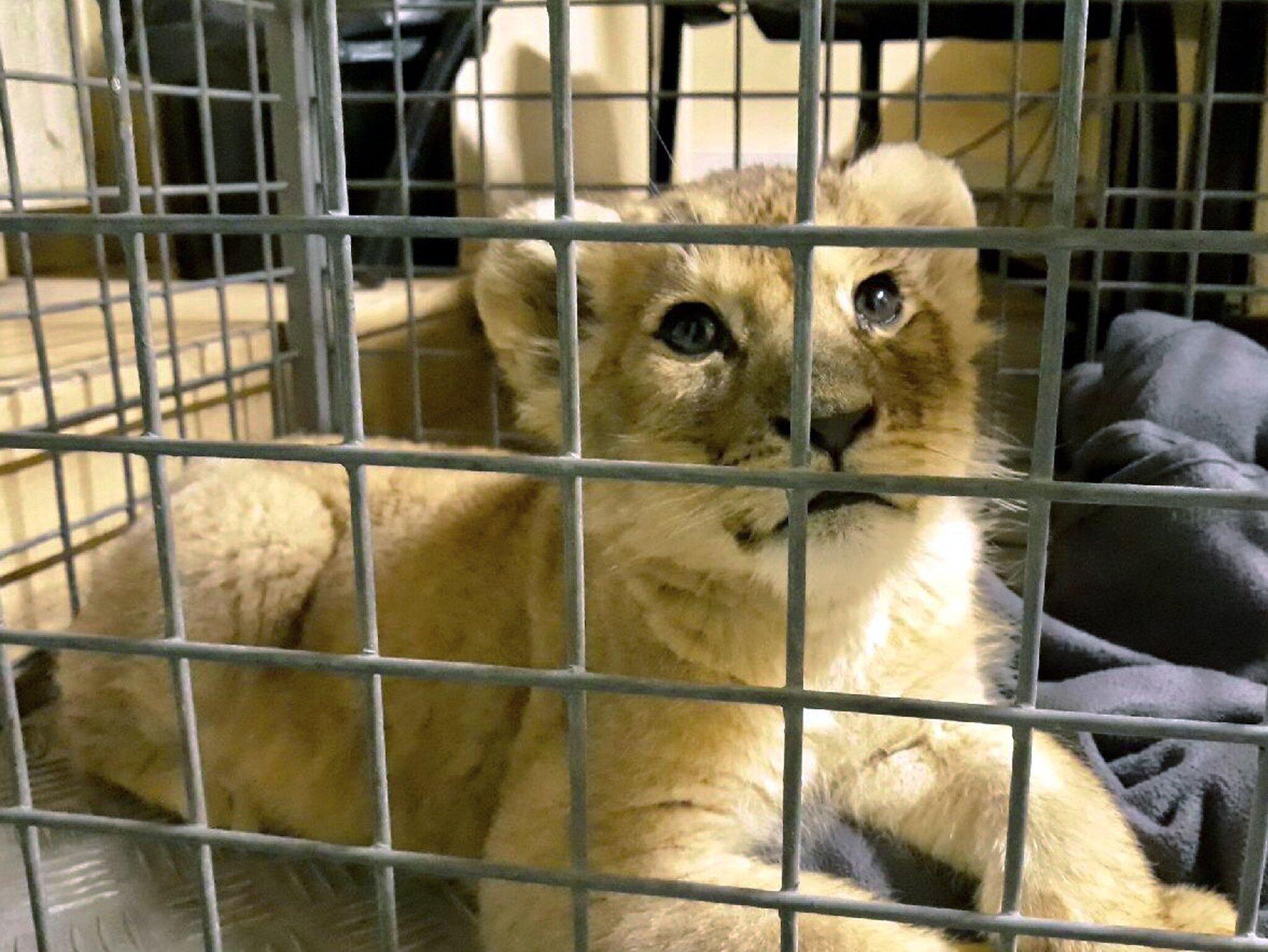 Löwen-Baby in Lamborghini auf Pariser Champs-Elysées entdeckt