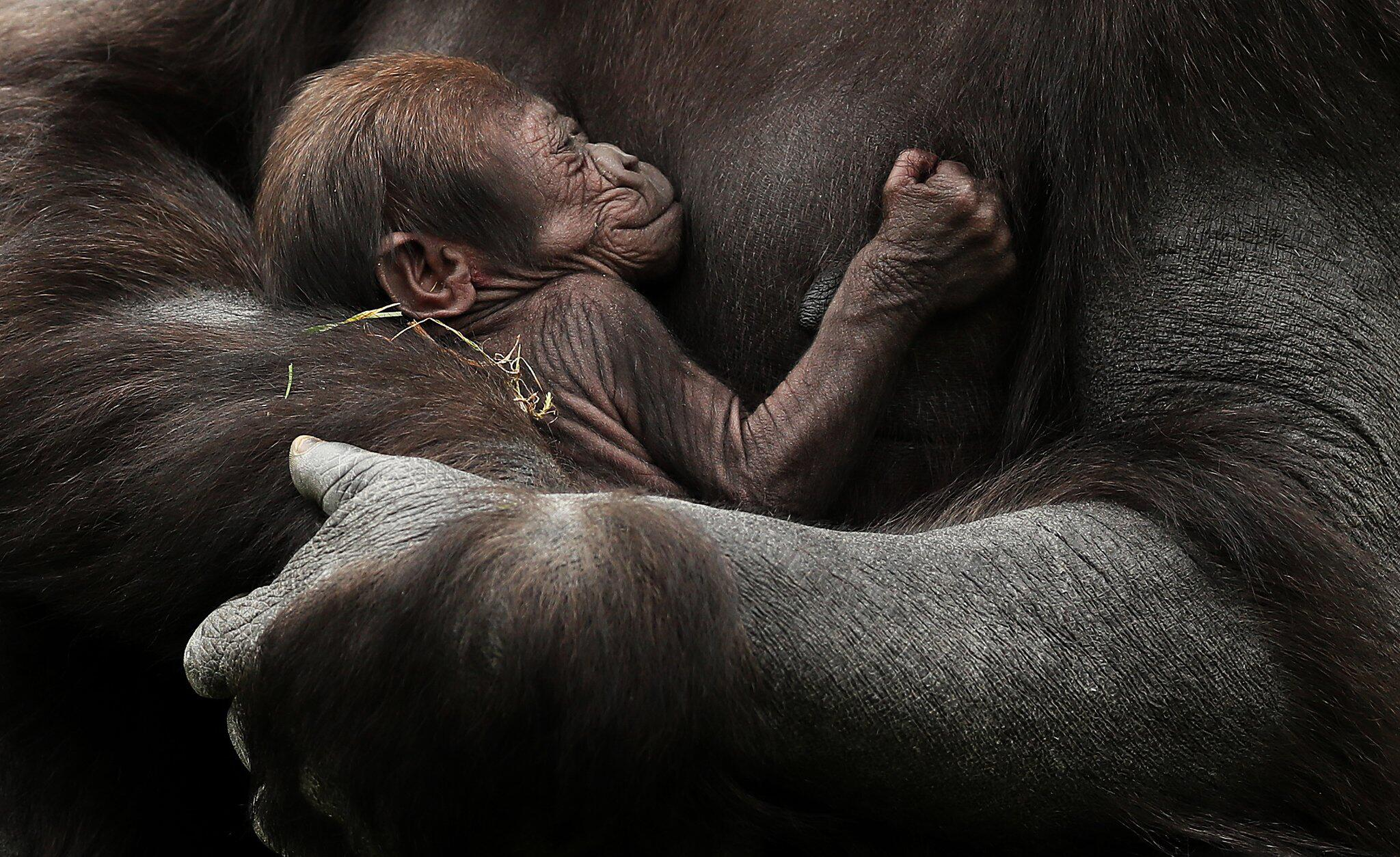 Bild zu Gorilla-Nachwuchs im Zoo von Dublin
