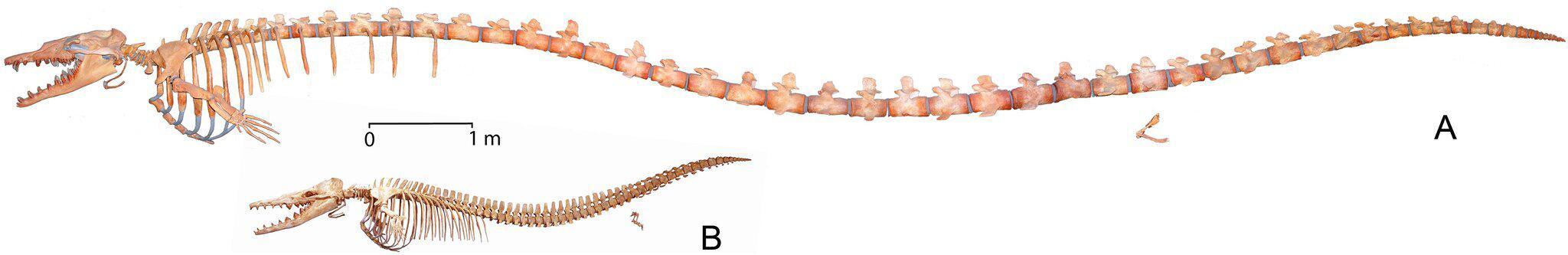 Bild zu Basilosaurus isis und Dorudon atrox