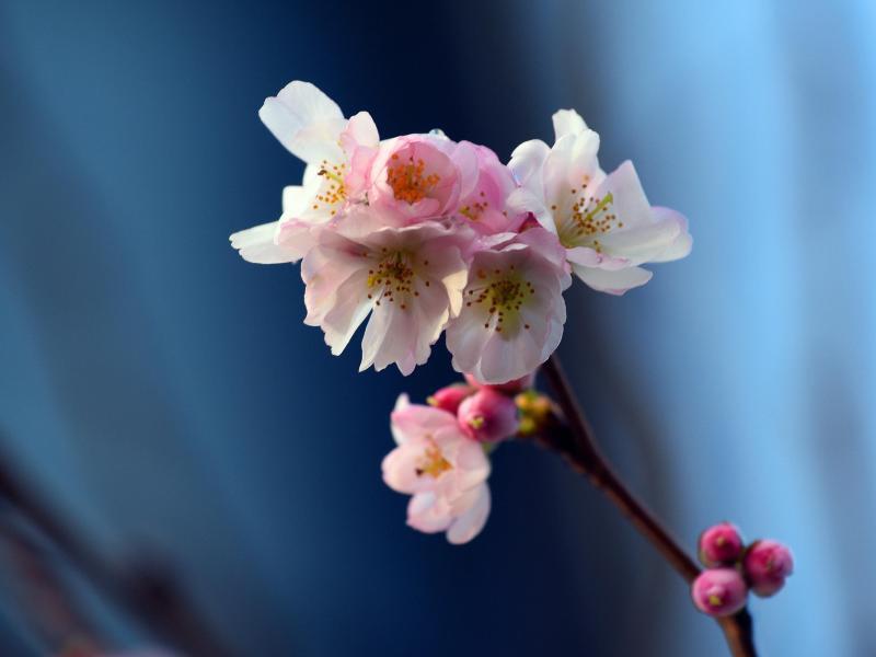 Bild zu Blühende zweig einer Zierkirsche