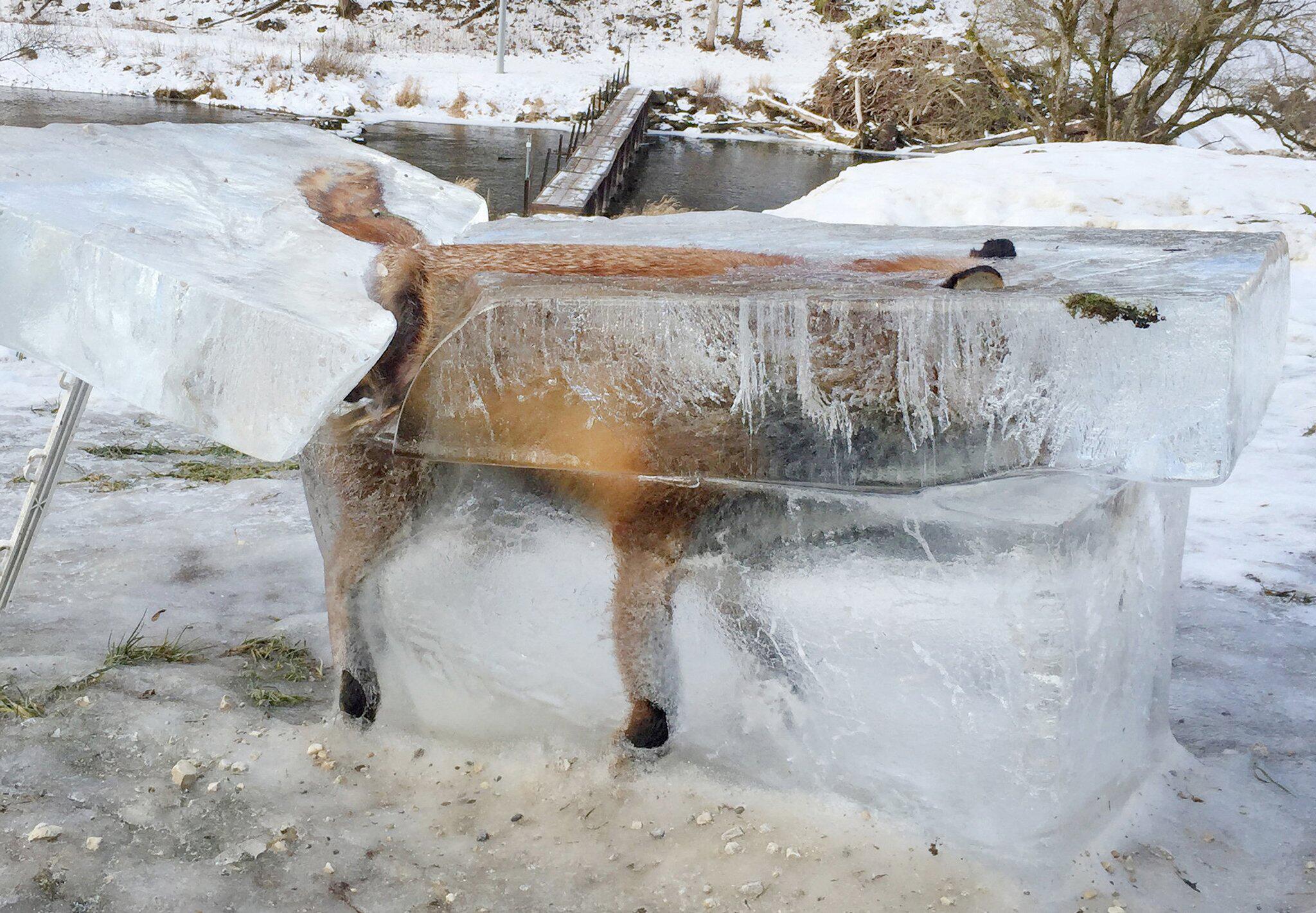 Bild zu Fuchs in Donau eingefroren