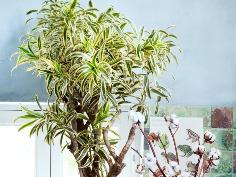 Bild zu Drachenbaum