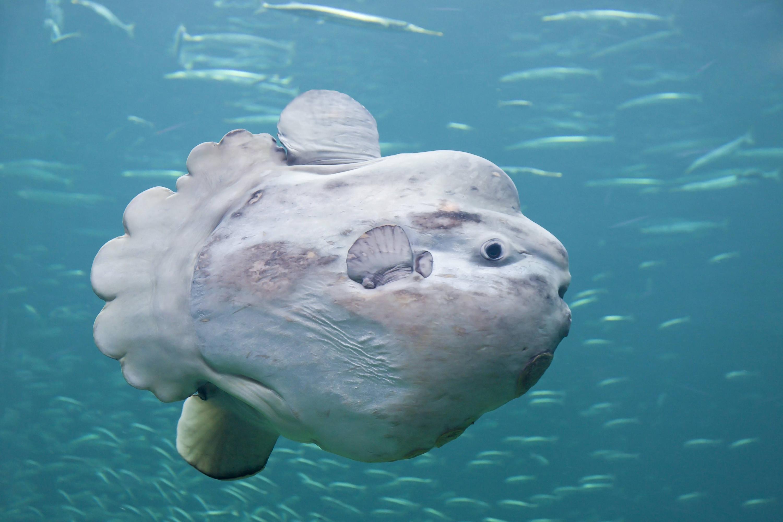 Bild zu Mondfisch