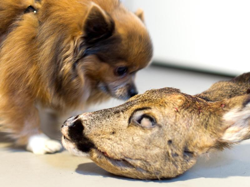 Bild zu Hund mit tiefgefrorenem Rehkopf