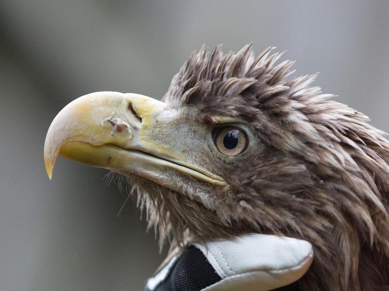 Bild zu 25-jähriger Seeadler