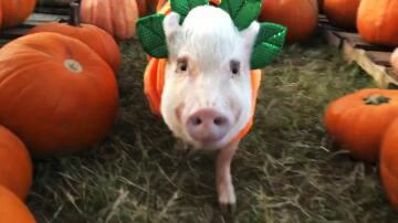 Bild zu Halloween, Schweine
