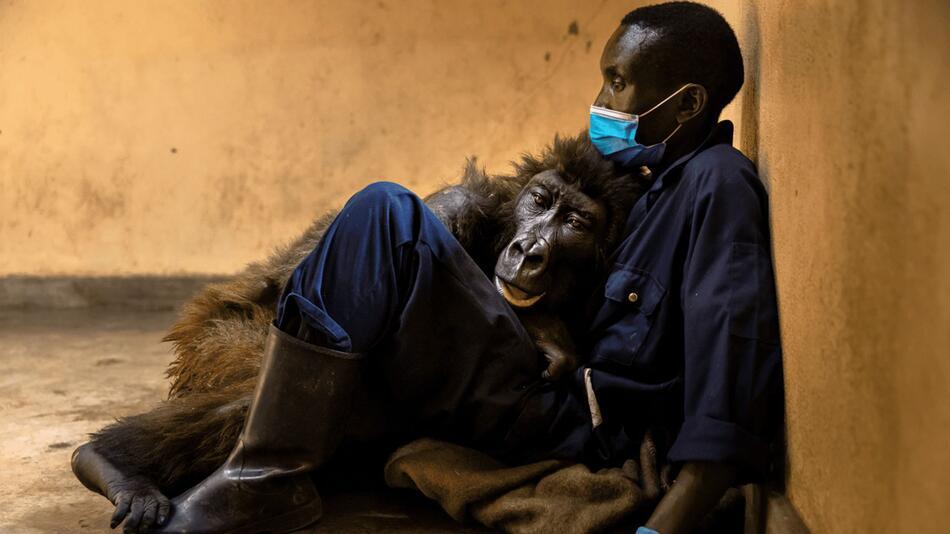 Trauer um Gorilla-Waise Ndakasi