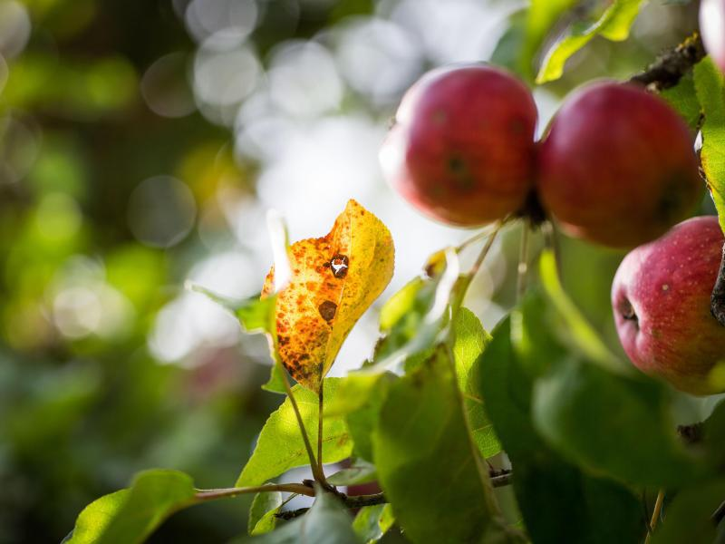 Bild zu Apfelbaum im Herbst