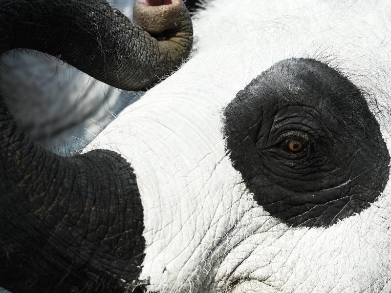 Bild zu Elefant muss Farbe für Pandas bekennen