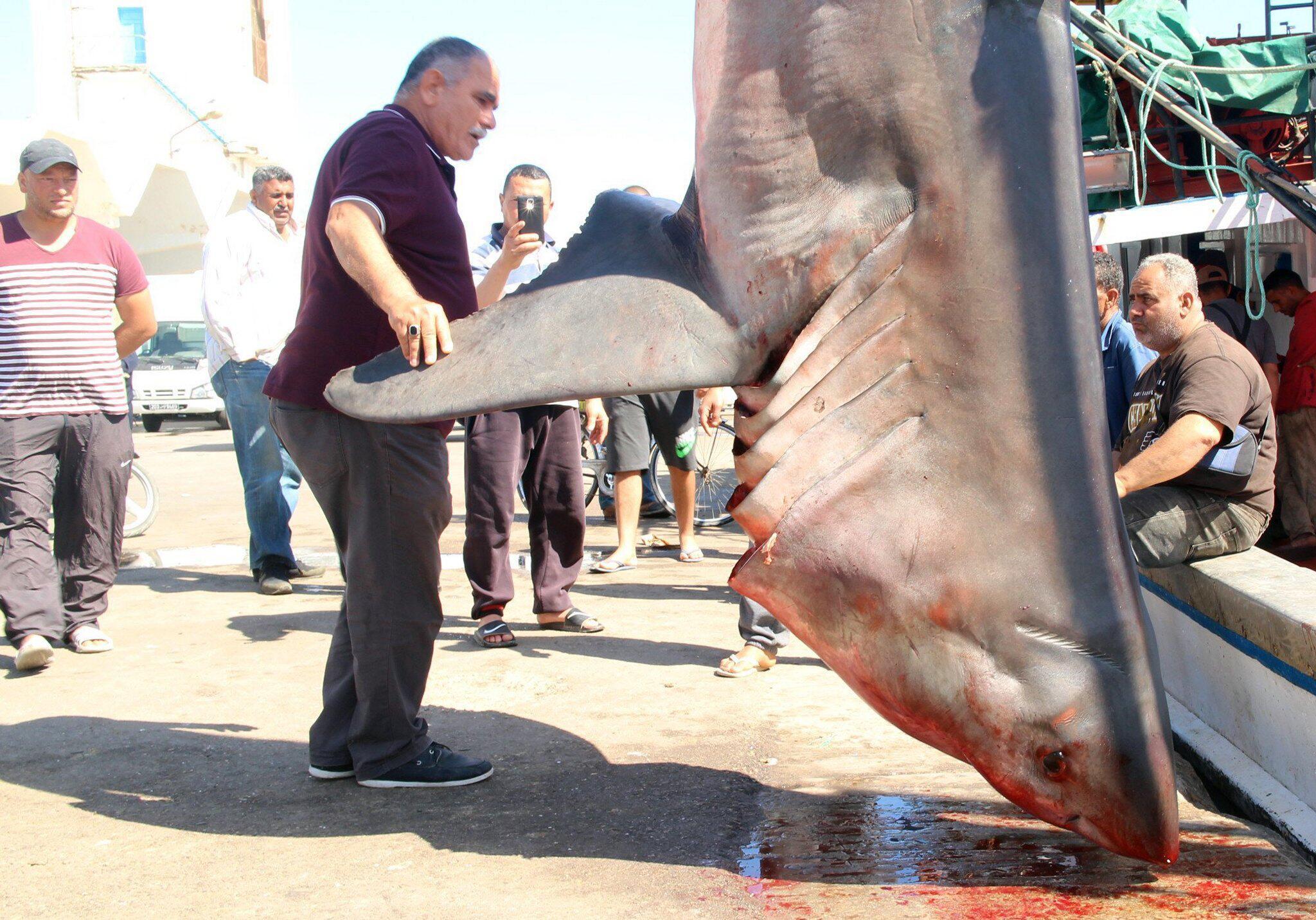 Bild zu Fischer fangen Weißen Hai im Mittelmeer