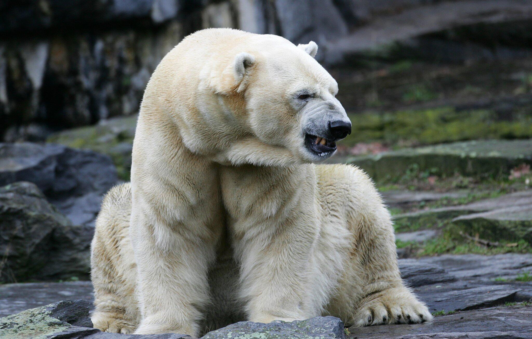Bild zu Eisbärin Aika im Tierpark verstorben