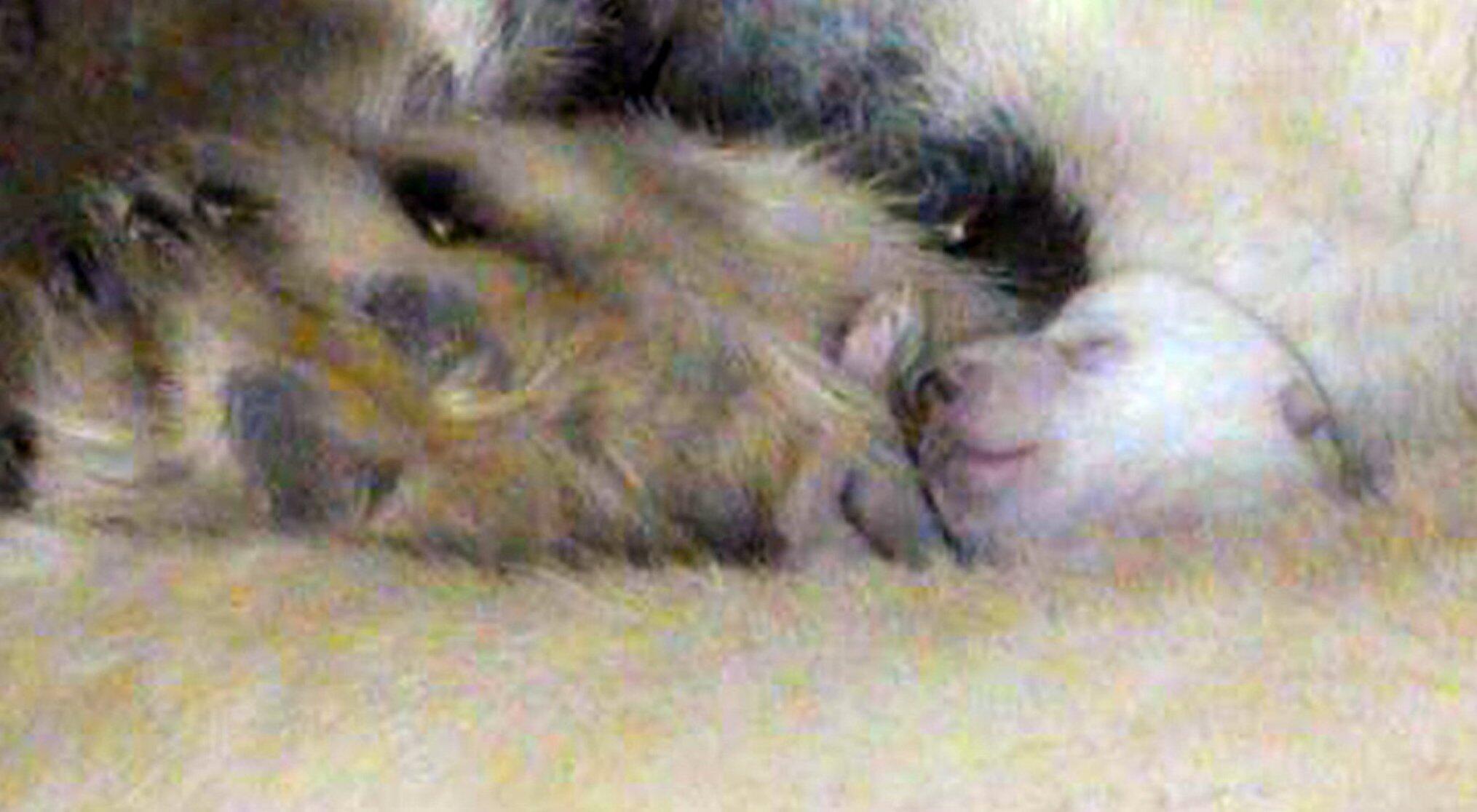 Bild zu Eisbärin Giovanna ist erneut im Mutterglück