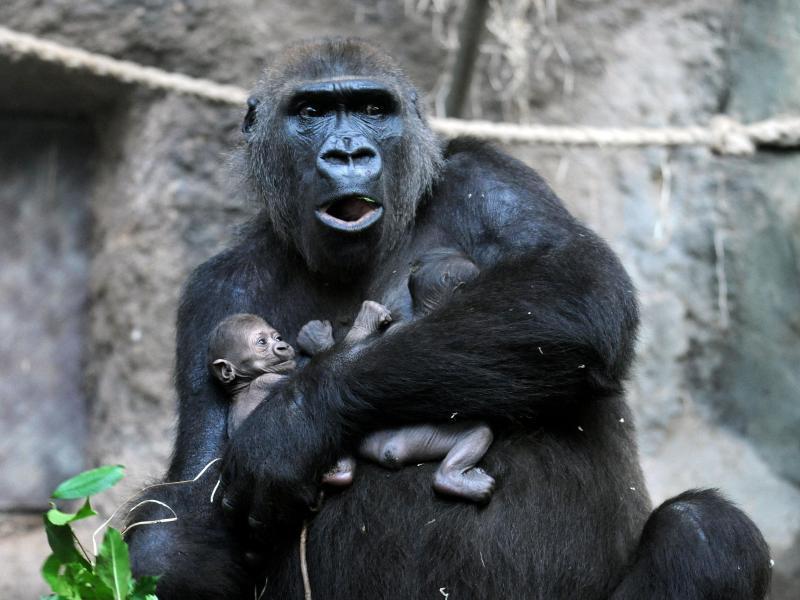 Bild zu Gorillas im Frankfurter Zoo