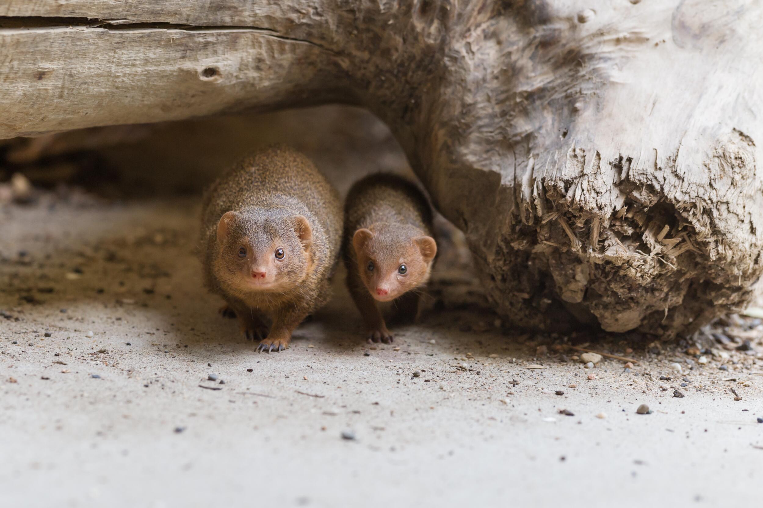 Bild zu Zwergmangusten im Zoo Basel