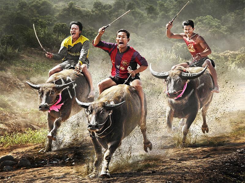 Bild zu Büffelrennen