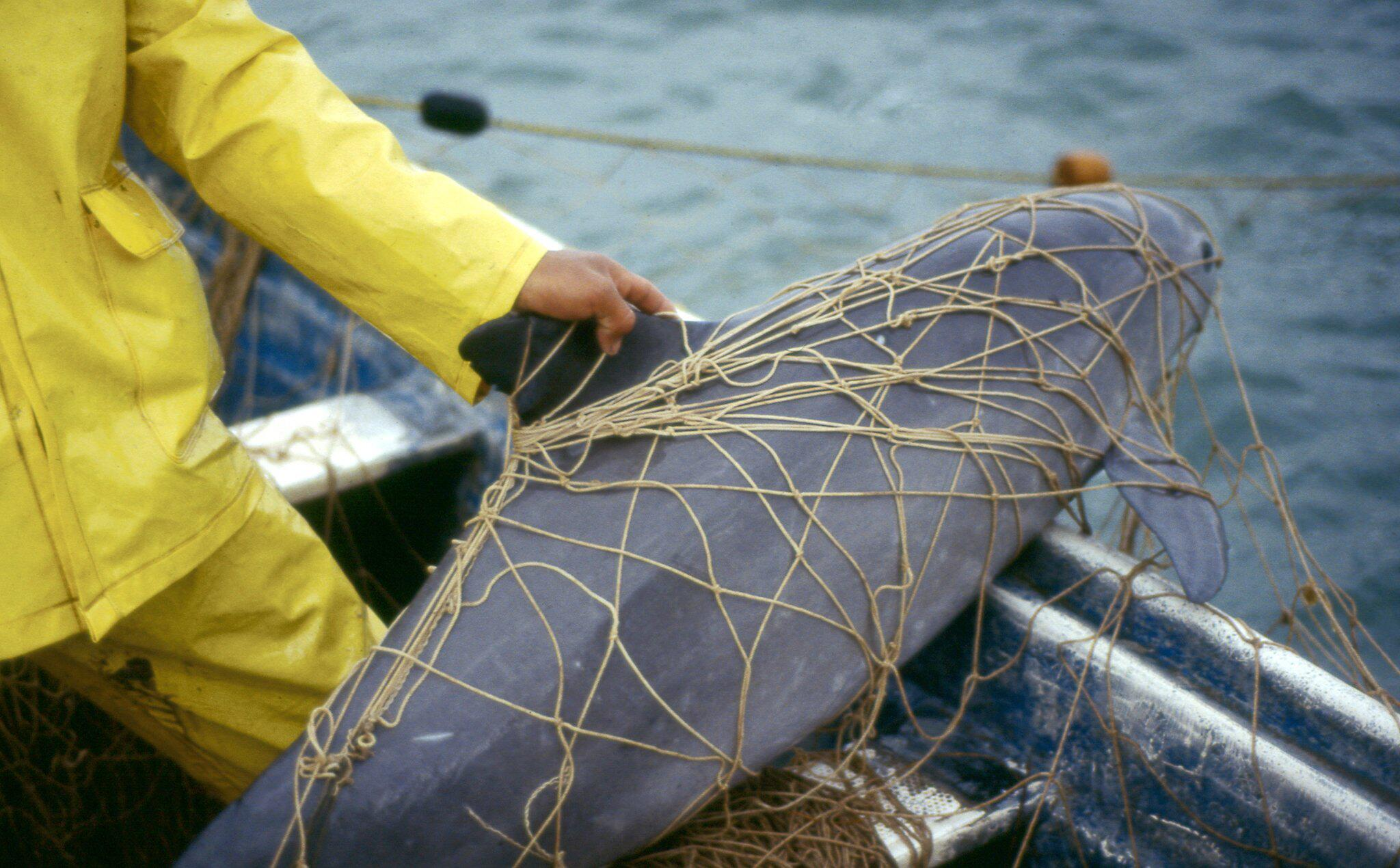 Bild zu Forscher zählen weniger als 19 Kalifornische Schweinswale