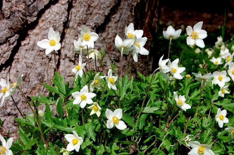 Der Garten Im Februar anemomen sorgen schon ab februar für farbe im garten web de